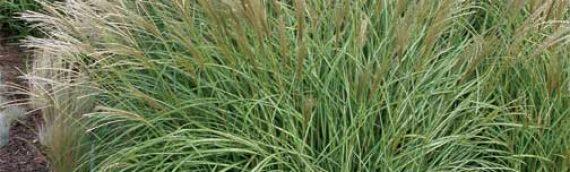 Yaku Jima Maiden Grass
