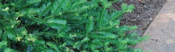 Plum Yew