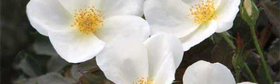 White Outル Rose