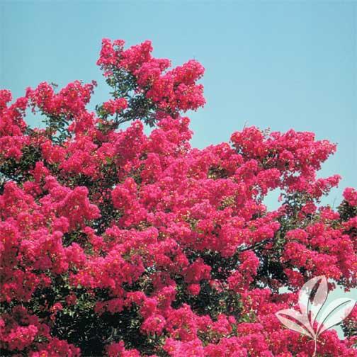 Crape Myrtles Summer Color That Beats The Heat Premier
