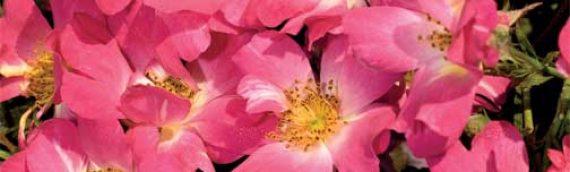 Driftル Rose