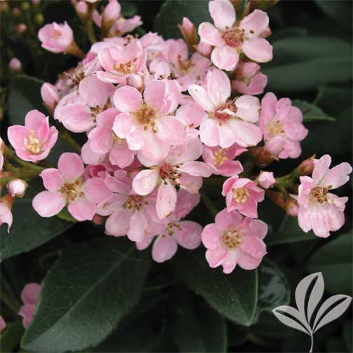 Indian hawthorn 39 pinkie 39 premier nursery for Indian food hawthorne
