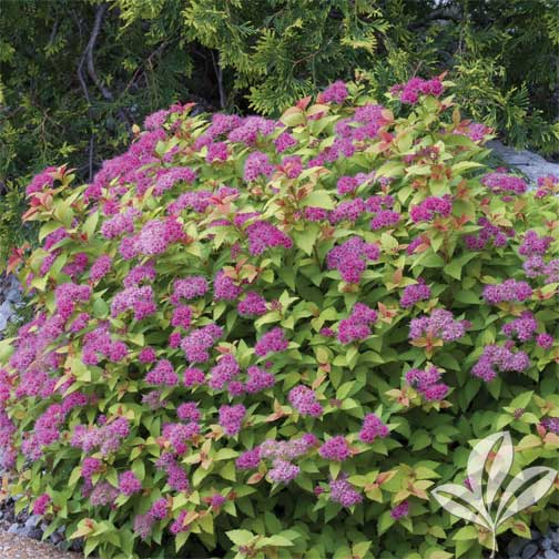 Gold Mound Spirea Premier Nursery