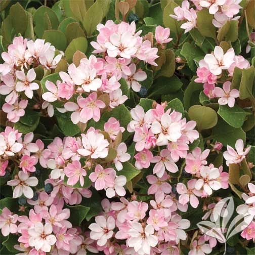 Indian hawthorn 39 pink lady 39 premier nursery for Indian food hawthorne
