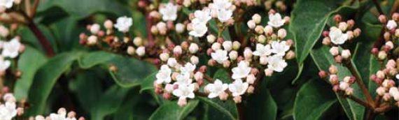 Viburnum Spring Bouquet