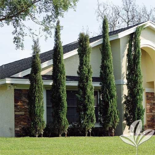 Italian Cypress Premier Nursery
