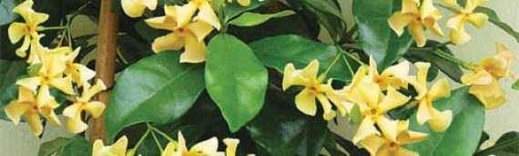 Star of Tuscany Jasmine