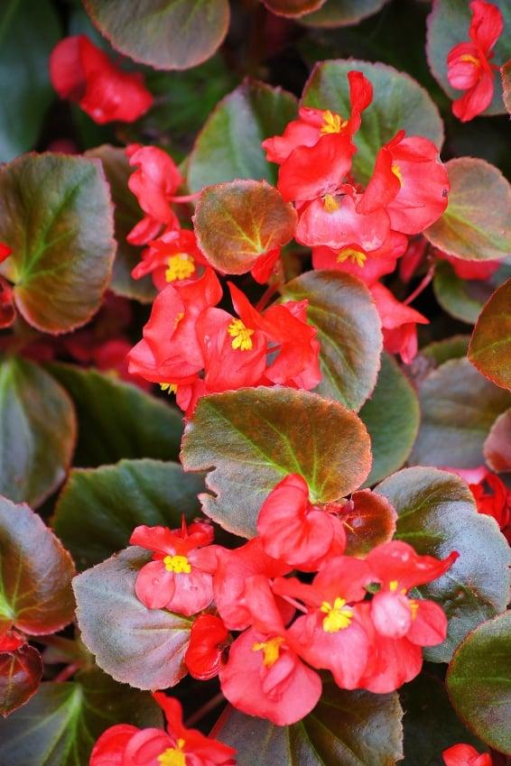 Annual Color A Perennial Favorite Premier Nursery