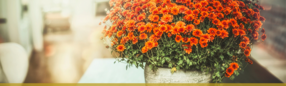 The Texan's Guide to Chrysanthemums
