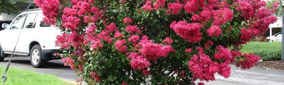 Crape Myrtles: Summer Color That Beats The Heat