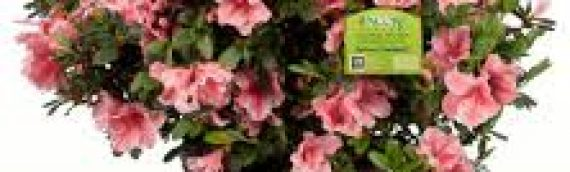 Flowering Shrubs: Sun or Shade
