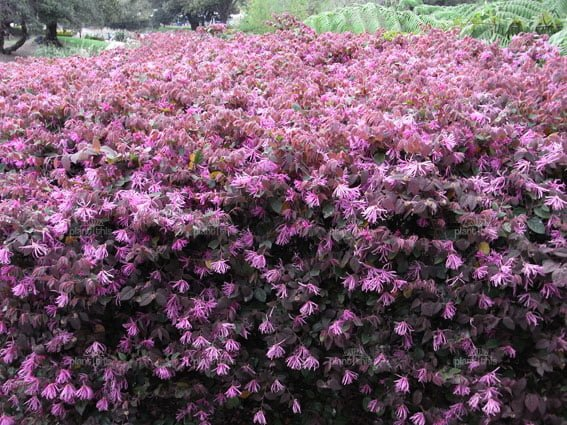 Flowering shrubs summer color that beats the heat premier nursery fringe flower mightylinksfo
