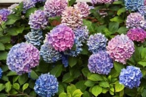 Colorful hydrangea flowers on a summer day