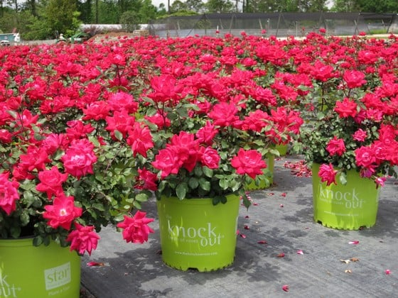Flowering Shrubs Summer Color That Beats The Heat Premier Nursery