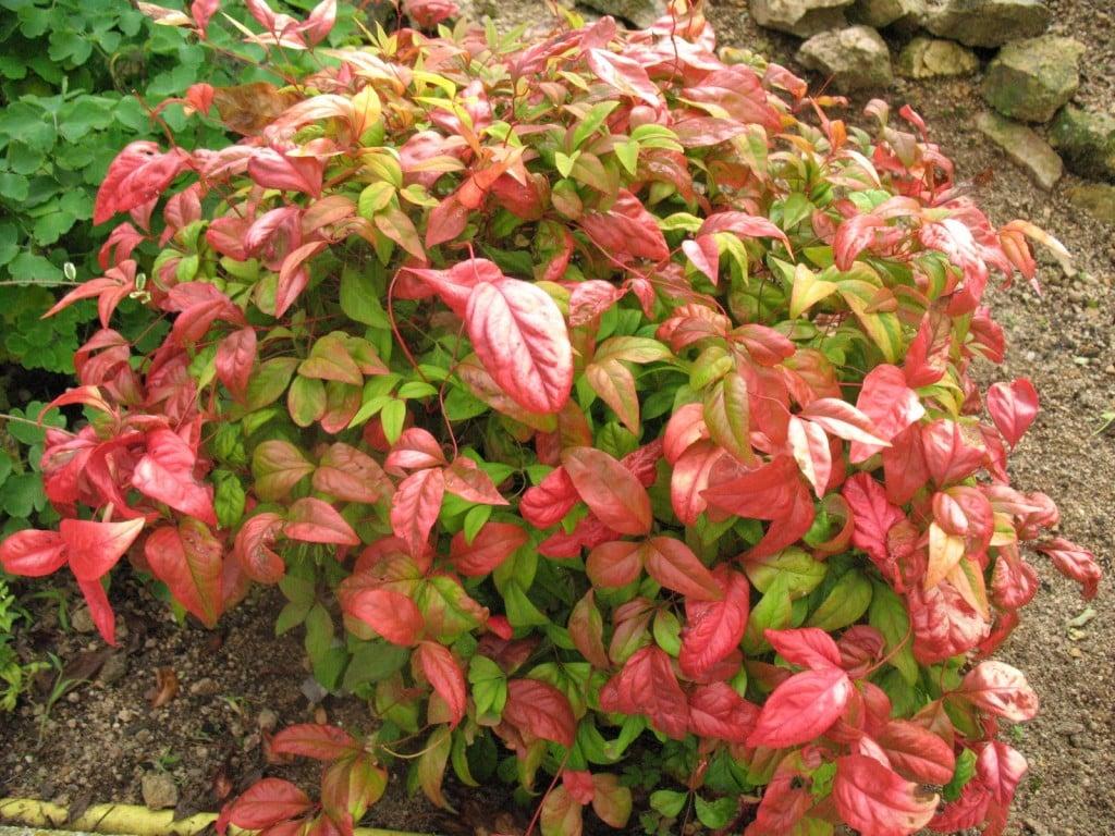 Arbustos ornamentales de Arkansas