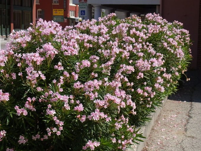Flowering shrubs summer color that beats the heat premier nursery oleander mightylinksfo