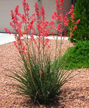 Flowering shrubs summer color that beats the heat premier nursery red yucca mightylinksfo