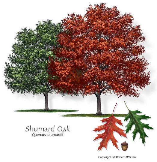 Shade Trees Premier Nursery