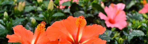 The Tropical Look: Hibiscus